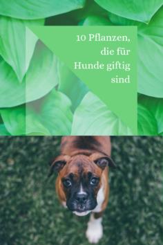 10 Pflanzen, die für Hunde giftig sind
